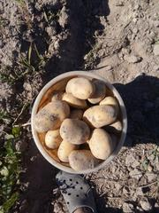 Картофель продовольственный. Урожай 2018г.